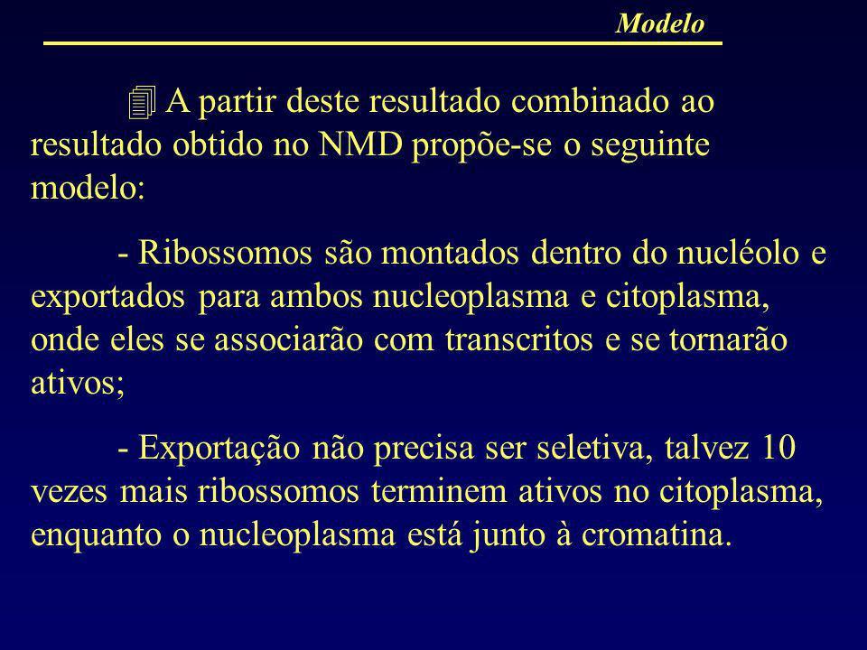 Modelo A partir deste resultado combinado ao resultado obtido no NMD propõe-se o seguinte modelo: - Ribossomos são montados dentro do nucléolo e expor