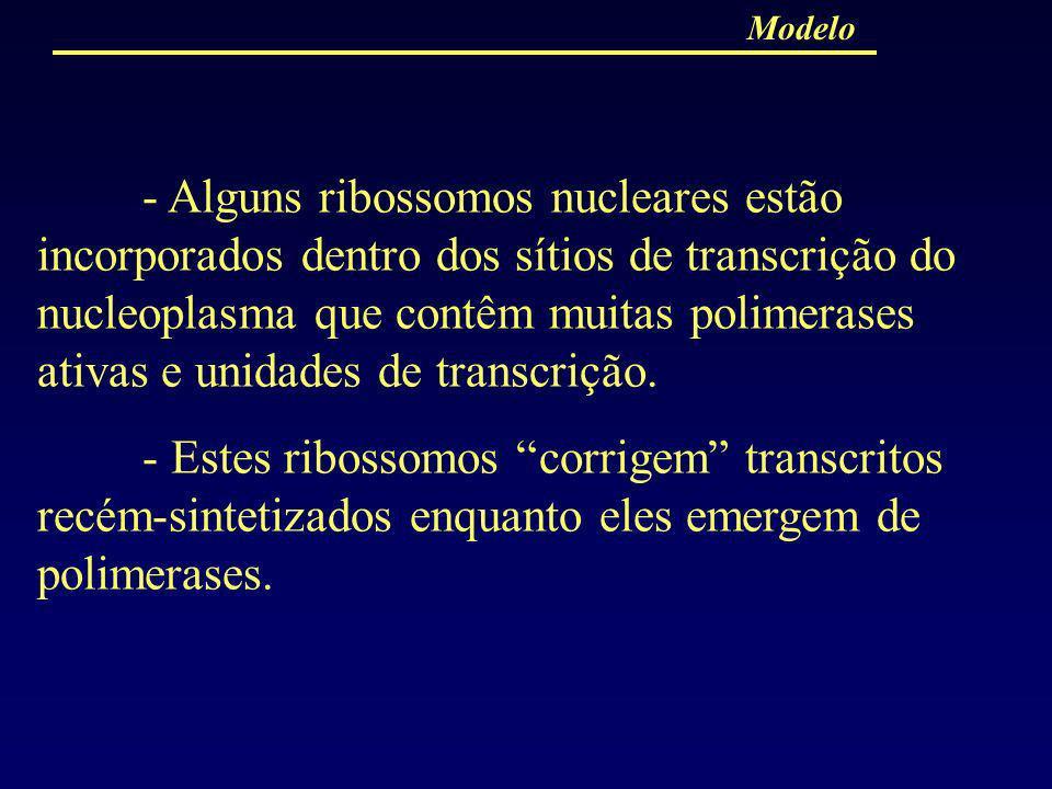 - Alguns ribossomos nucleares estão incorporados dentro dos sítios de transcrição do nucleoplasma que contêm muitas polimerases ativas e unidades de t