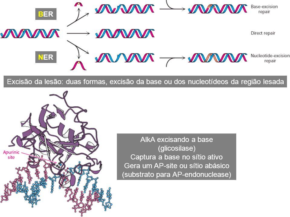 Excisão da lesão: duas formas, excisão da base ou dos nucleotídeos da região lesada AlkA excisando a base (glicosilase) Captura a base no sítio ativo