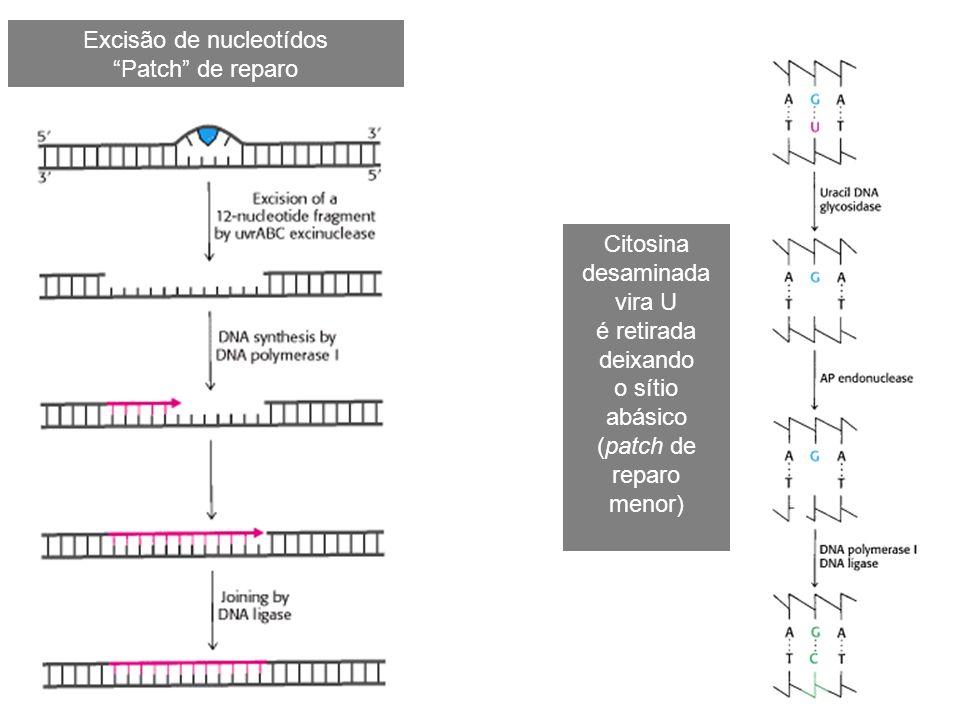 Excisão de nucleotídos Patch de reparo Citosina desaminada vira U é retirada deixando o sítio abásico (patch de reparo menor)
