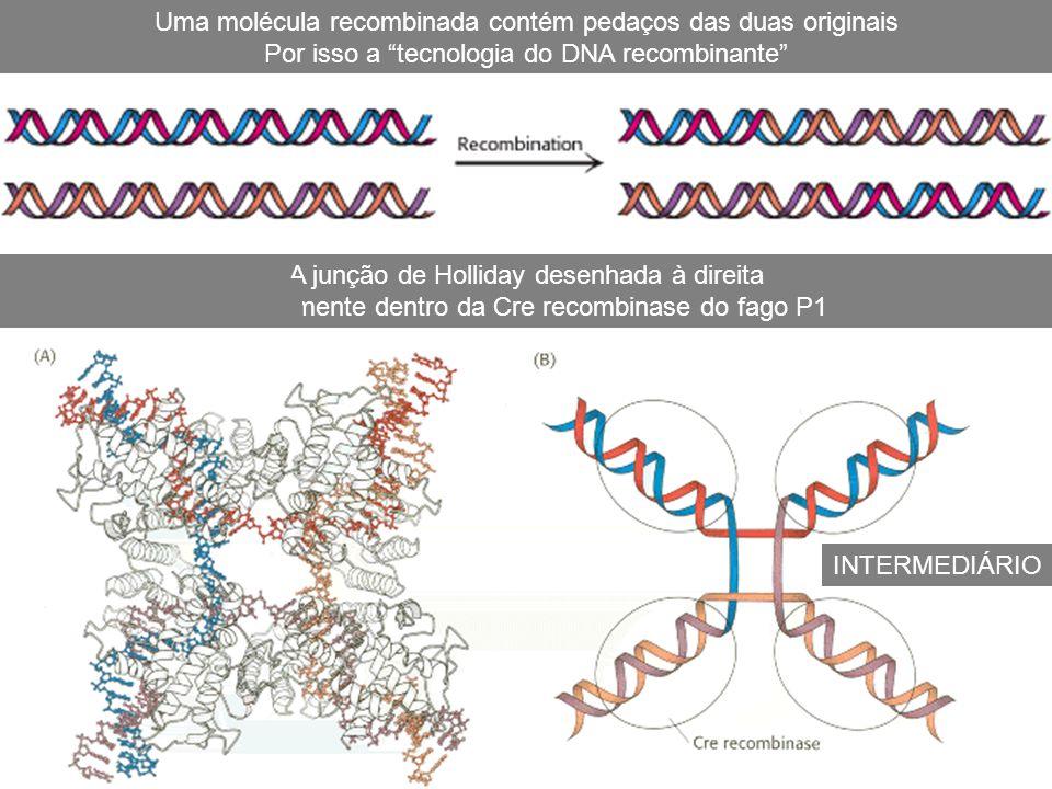 A junção de Holliday desenhada à direita E realmente dentro da Cre recombinase do fago P1 Uma molécula recombinada contém pedaços das duas originais P