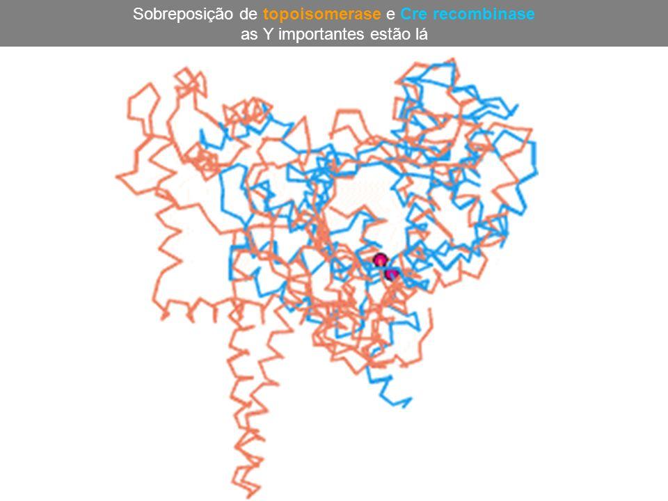 Sobreposição de topoisomerase e Cre recombinase as Y importantes estão lá