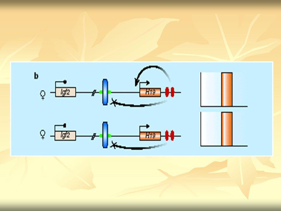 Kono e colaboradores Cromossomos de óvulo imaturo (ng WT ) sem imprintings Cromossomos de óvulo maduro (fg WT ) Embriões partenogenéticos (13,5 dias de feto)