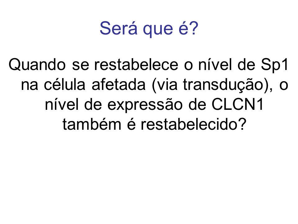 Será que é? Quando se restabelece o nível de Sp1 na célula afetada (via transdução), o nível de expressão de CLCN1 também é restabelecido?