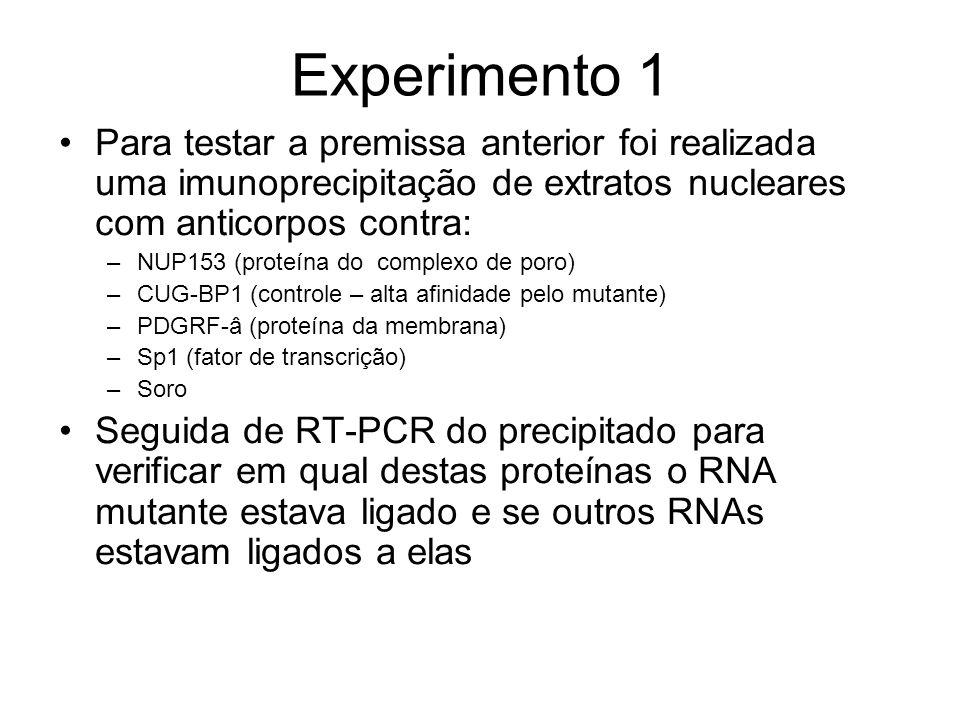 Experimento 1 Para testar a premissa anterior foi realizada uma imunoprecipitação de extratos nucleares com anticorpos contra: –NUP153 (proteína do co