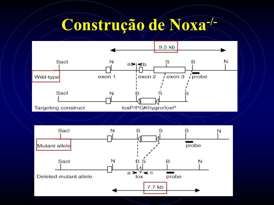 Noxa -/- Northern blot Agarose - controle Southern blot PCR Southern blot