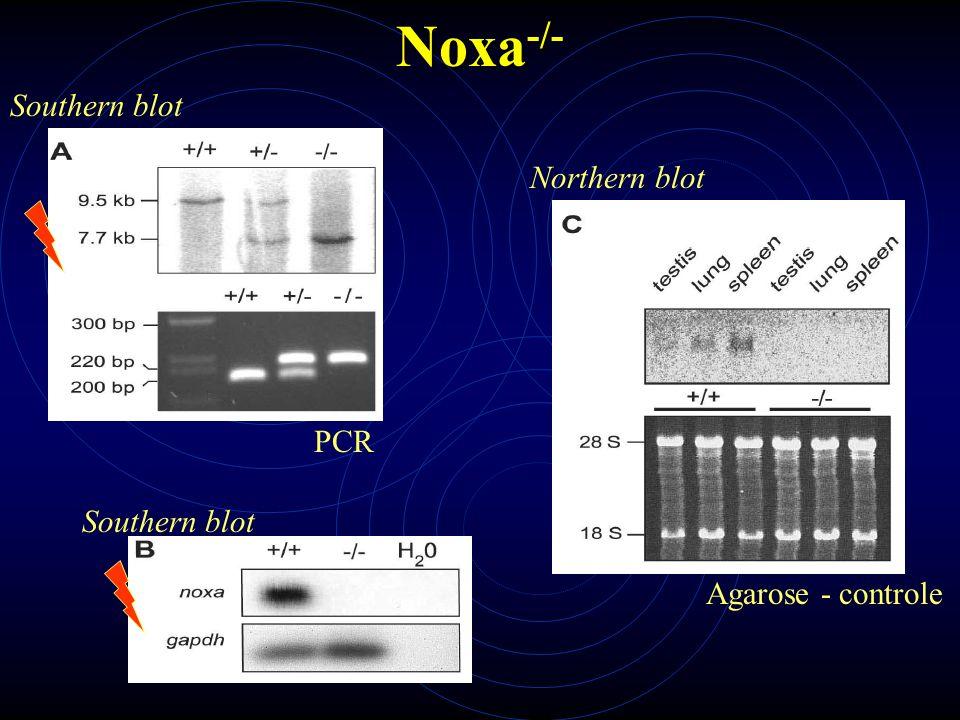 Noxa -/- Estímulo dependente de p53