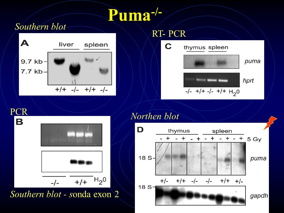 Puma -/- Southern blot PCR Southern blot - sonda exon 2 RT- PCR Northen blot