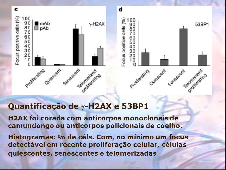 Quantificação de -H2AX e 53BP1 H2AX foi corada com anticorpos monoclonais de camundongo ou anticorpos policlonais de coelho. Histogramas: % de céls. C