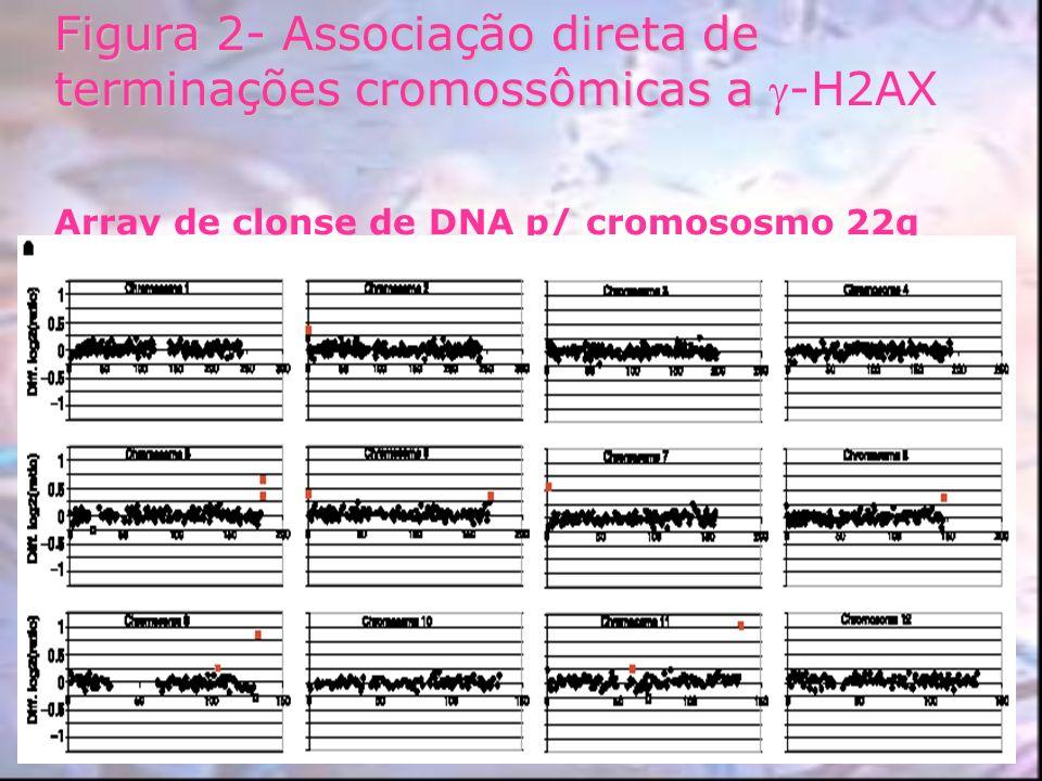 Figura 2- Associação direta de terminações cromossômicas a Figura 2- Associação direta de terminações cromossômicas a -H2AX Array de clonse de DNA p/