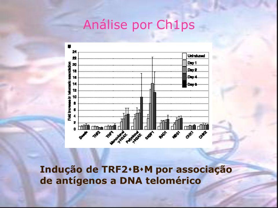 Análise por Ch1ps B M por associação de antígenos a DNA telomérico Indução de TRF2 B M por associação de antígenos a DNA telomérico