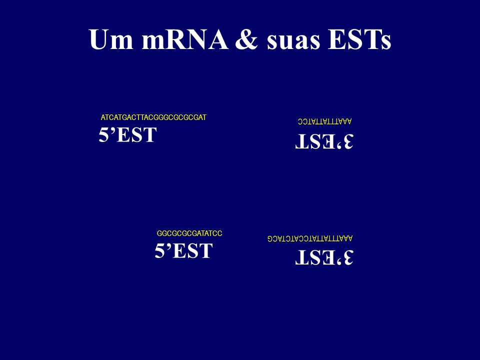 (A) 20 0 AUG Um mRNA & suas ESTs (A) 20 0 (T) 18 cDNA (fita -) AUG (A) 18 cDNA (fita +) (T) 18 cDNA (fita -) (A) 18 ATG ATCATGACTTACGGGCGCGCGAT GGCGCG