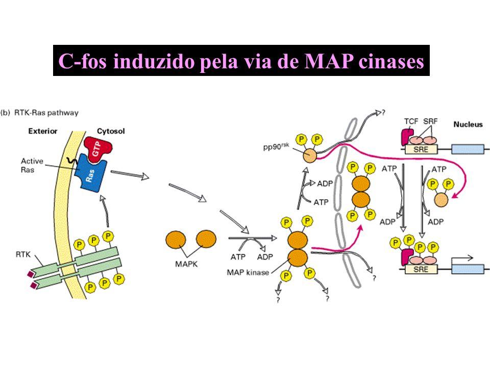C-fos induzido pela via de MAP cinases