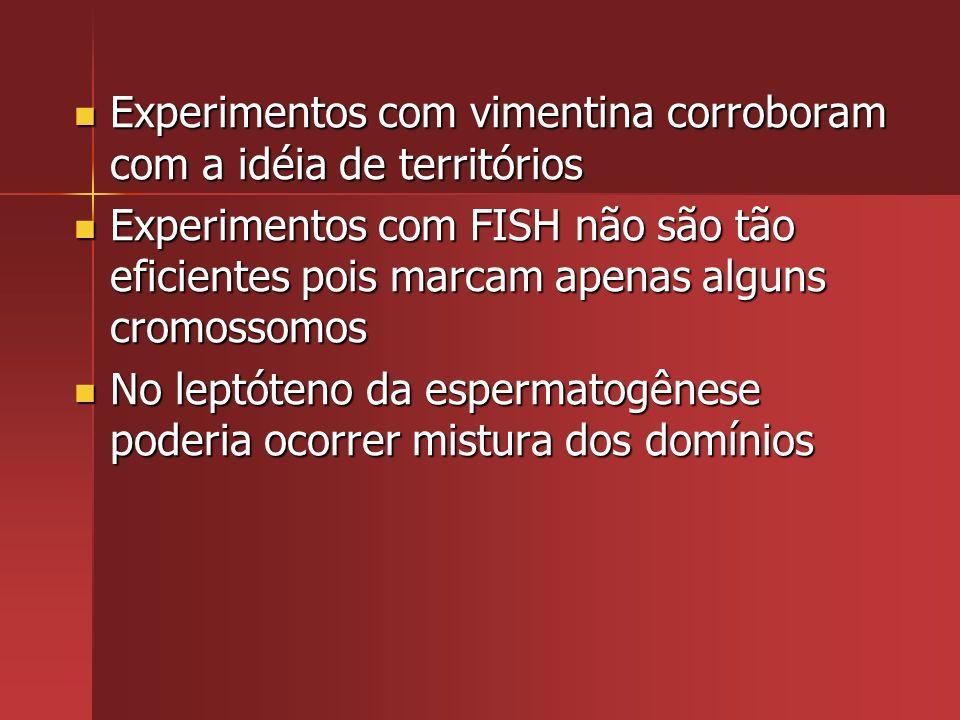 Experimentos com vimentina corroboram com a idéia de territórios Experimentos com vimentina corroboram com a idéia de territórios Experimentos com FIS