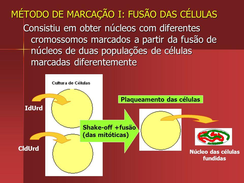 MÉTODO DE MARCAÇÃO I: FUSÃO DAS CÉLULAS Consistiu em obter núcleos com diferentes cromossomos marcados a partir da fusão de núcleos de duas populações