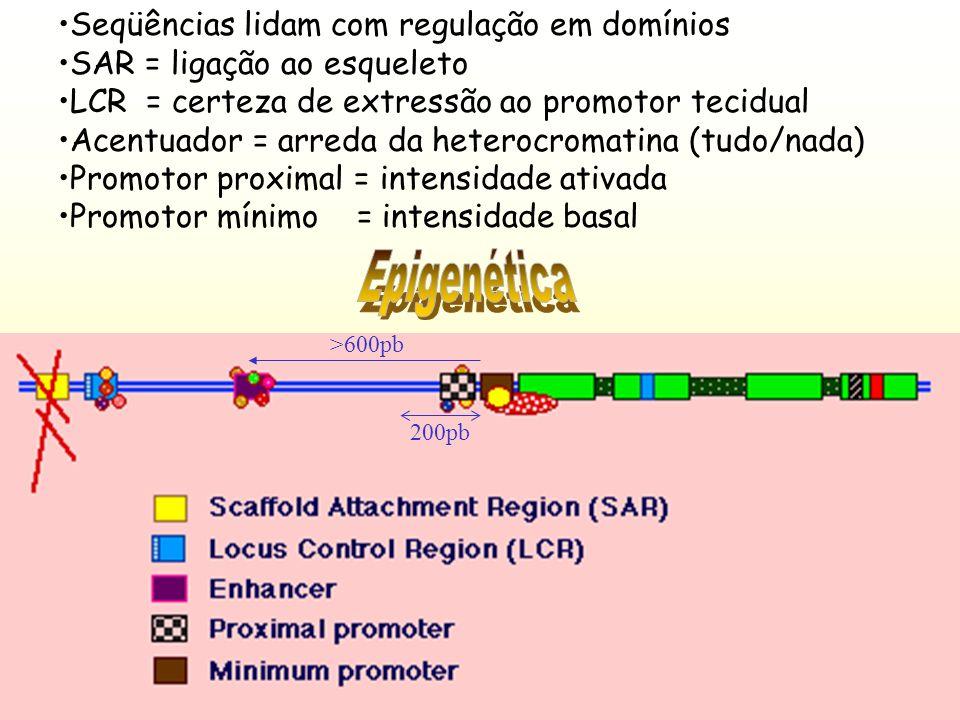 As fábricas estão apoiadas no esqueleto nuclear As alças dos cromossomos permanecendo no núcleo