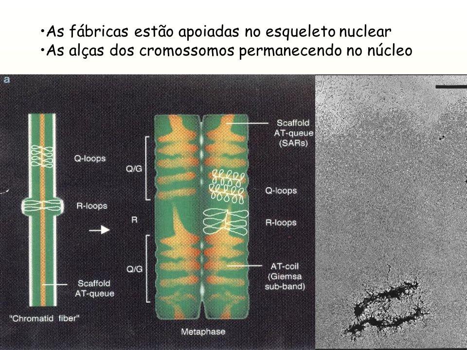 Os cromossomos dispersos ocupam territórios imiscíveis As fábricas na superfície dos territórios