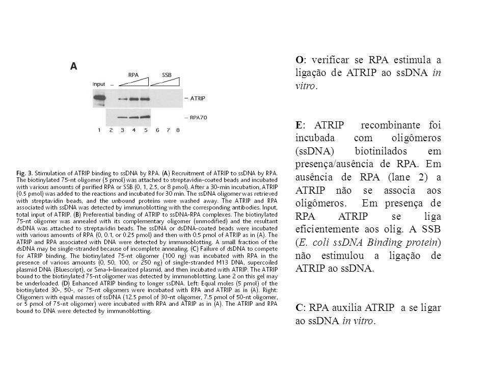 O: verificar se RPA estimula a ligação de ATRIP ao ssDNA in vitro. E: ATRIP recombinante foi incubada com oligômeros (ssDNA) biotinilados em presença/