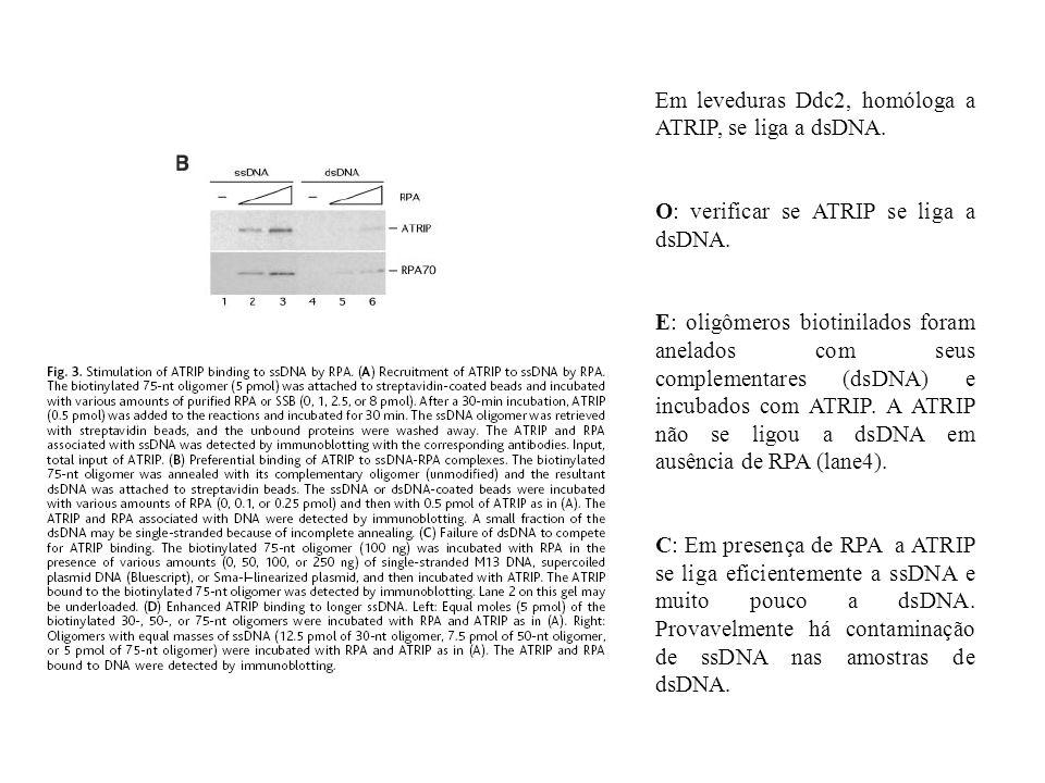 Em leveduras Ddc2, homóloga a ATRIP, se liga a dsDNA. O: verificar se ATRIP se liga a dsDNA. E: oligômeros biotinilados foram anelados com seus comple