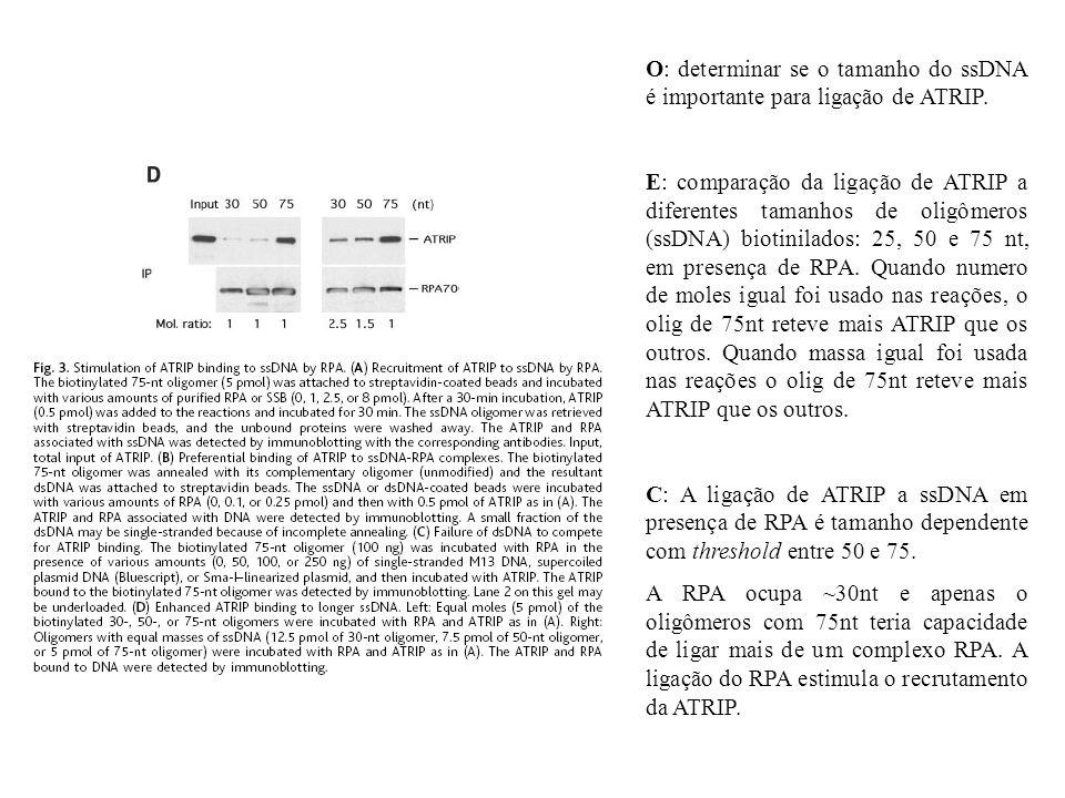 O: determinar se o tamanho do ssDNA é importante para ligação de ATRIP. E: comparação da ligação de ATRIP a diferentes tamanhos de oligômeros (ssDNA)