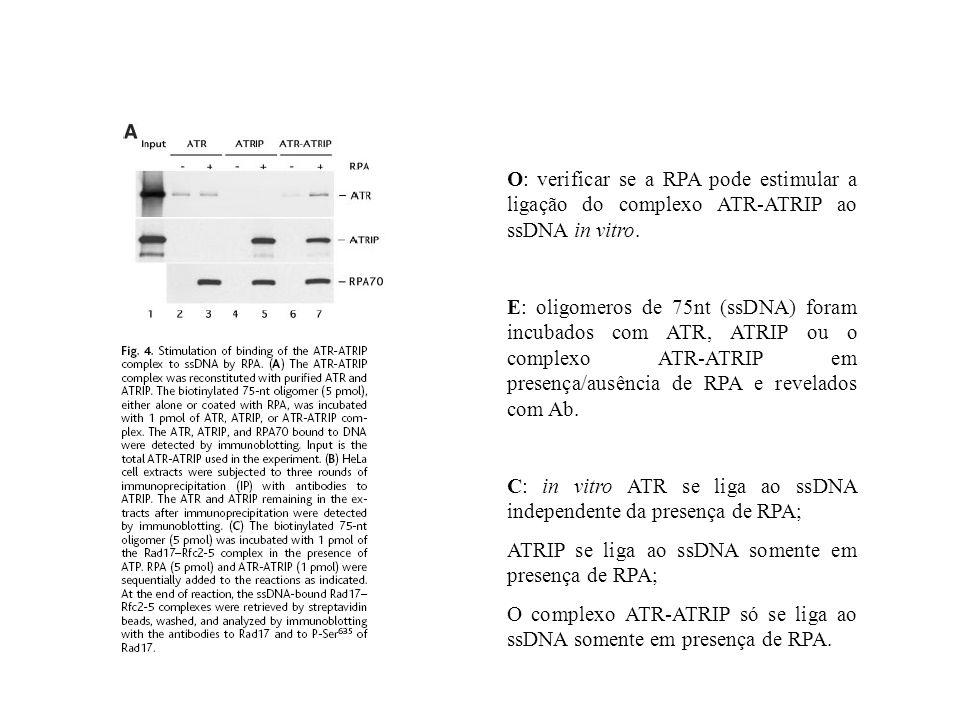 O: verificar se a RPA pode estimular a ligação do complexo ATR-ATRIP ao ssDNA in vitro. E: oligomeros de 75nt (ssDNA) foram incubados com ATR, ATRIP o