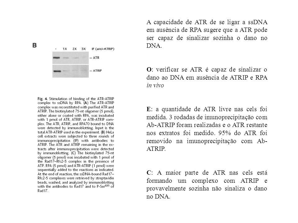 A capacidade de ATR de se ligar a ssDNA em ausência de RPA sugere que a ATR pode ser capaz de sinalizar sozinha o dano no DNA. O: verificar se ATR é c