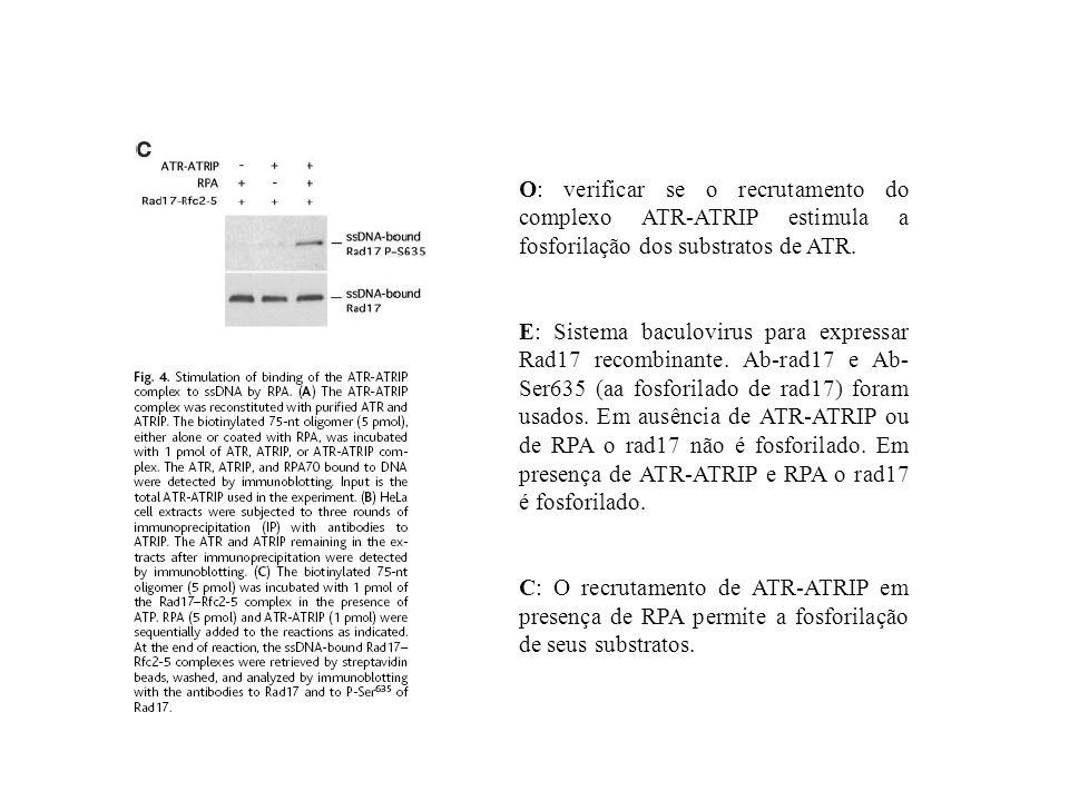 O: verificar se o recrutamento do complexo ATR-ATRIP estimula a fosforilação dos substratos de ATR. E: Sistema baculovirus para expressar Rad17 recomb