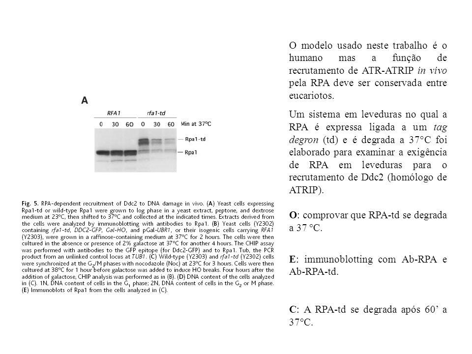 O modelo usado neste trabalho é o humano mas a função de recrutamento de ATR-ATRIP in vivo pela RPA deve ser conservada entre eucariotos. Um sistema e