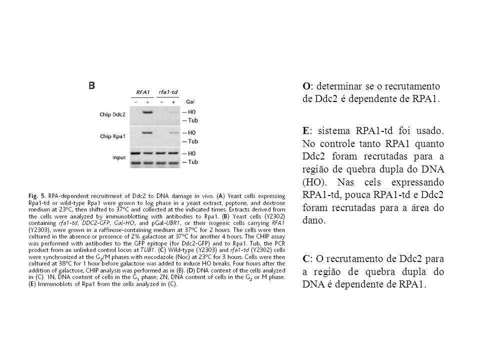 O: determinar se o recrutamento de Ddc2 é dependente de RPA1. E: sistema RPA1-td foi usado. No controle tanto RPA1 quanto Ddc2 foram recrutadas para a