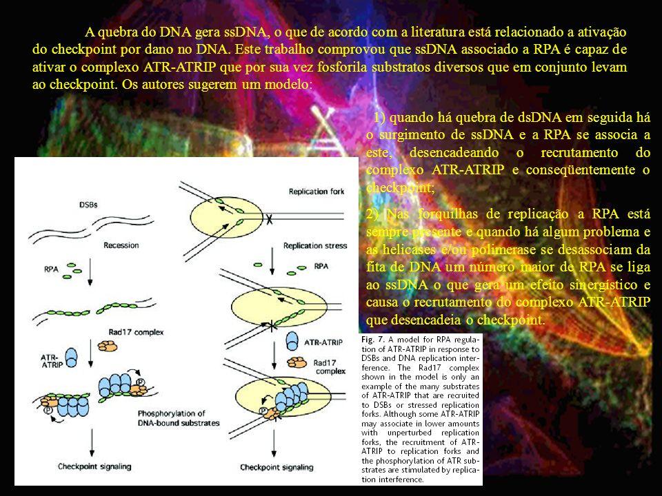 A quebra do DNA gera ssDNA, o que de acordo com a literatura está relacionado a ativação do checkpoint por dano no DNA. Este trabalho comprovou que ss
