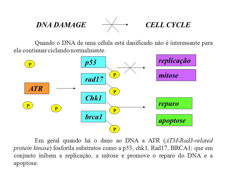 Quando o DNA de uma célula está danificado não é interessante para ela continuar ciclando normalmente. Em geral quando há o dano ao DNA a ATR (ATM-Rad