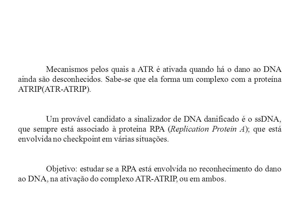 Mecanismos pelos quais a ATR é ativada quando há o dano ao DNA ainda são desconhecidos. Sabe-se que ela forma um complexo com a proteína ATRIP(ATR-ATR