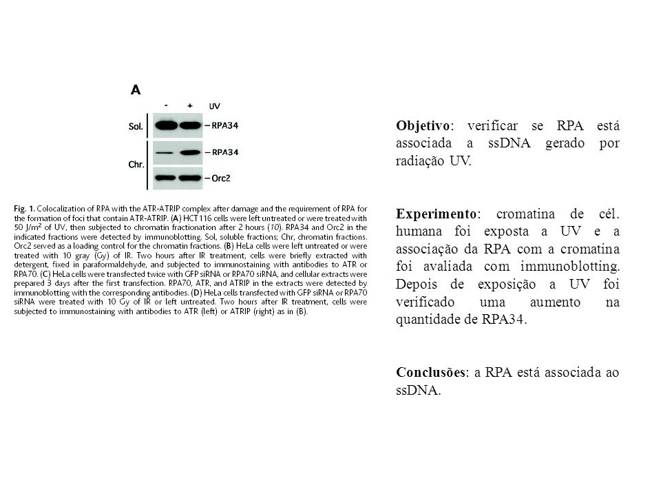 Objetivo: verificar se RPA está associada a ssDNA gerado por radiação UV. Experimento: cromatina de cél. humana foi exposta a UV e a associação da RPA
