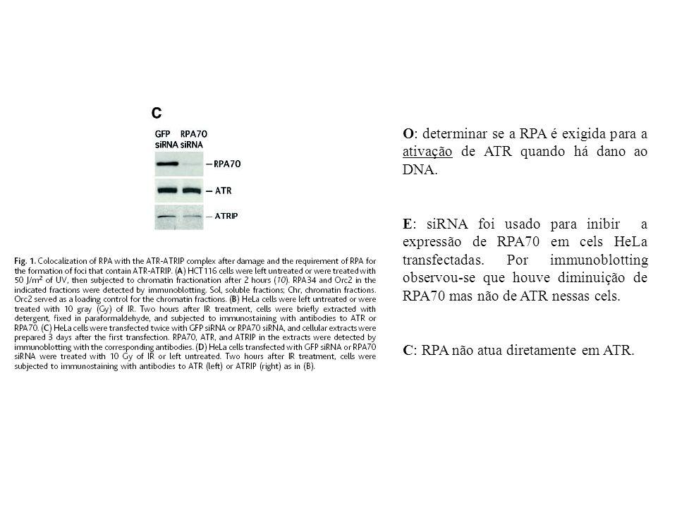 O: determinar se a RPA é exigida para a ativação de ATR quando há dano ao DNA. E: siRNA foi usado para inibir a expressão de RPA70 em cels HeLa transf
