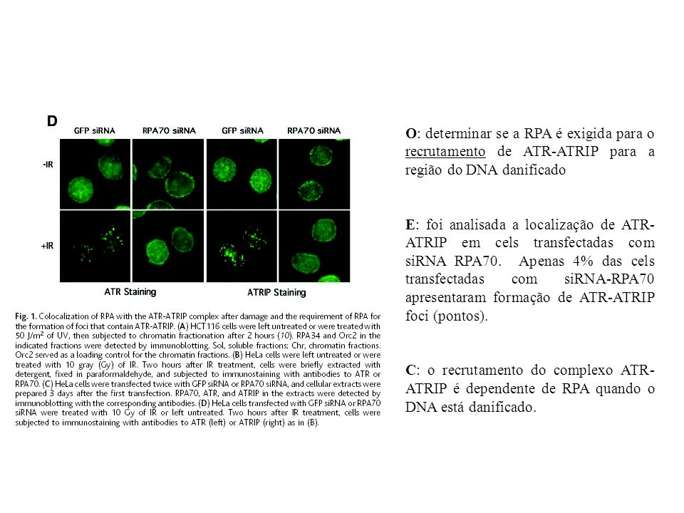 O: determinar se a RPA é exigida para o recrutamento de ATR-ATRIP para a região do DNA danificado E: foi analisada a localização de ATR- ATRIP em cels transfectadas com siRNA RPA70.