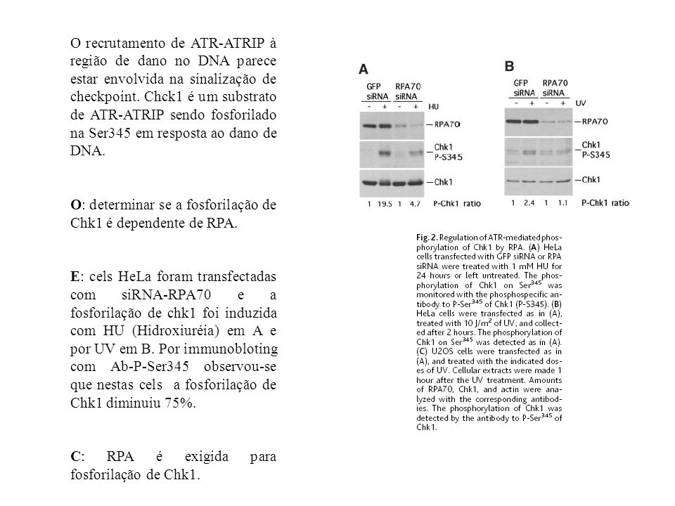 O recrutamento de ATR-ATRIP à região de dano no DNA parece estar envolvida na sinalização de checkpoint.