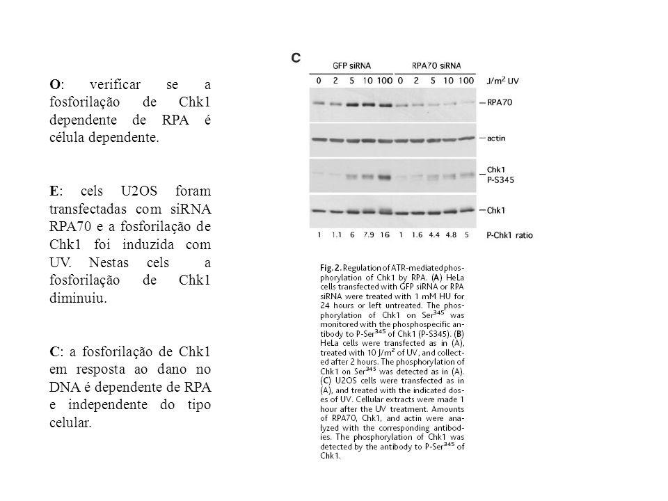 O: verificar se a fosforilação de Chk1 dependente de RPA é célula dependente. E: cels U2OS foram transfectadas com siRNA RPA70 e a fosforilação de Chk