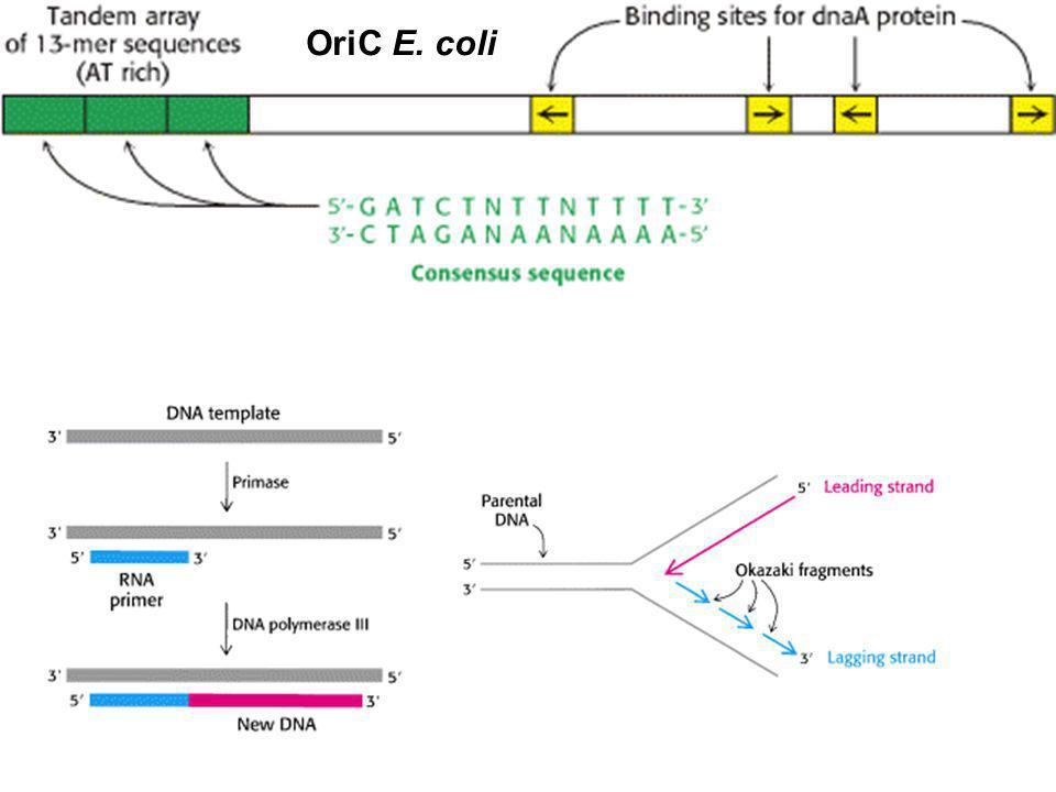 OriC E. coli