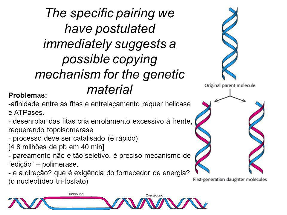 The specific pairing we have postulated immediately suggests a possible copying mechanism for the genetic material Problemas: -afinidade entre as fitas e entrelaçamento requer helicase e ATPases.