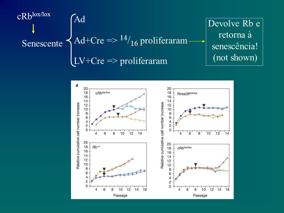 cRb lox/lox Senescente Ad Ad+Cre => 14 / 16 proliferaram LV+Cre => proliferaram Devolve Rb e retorna à senescência.
