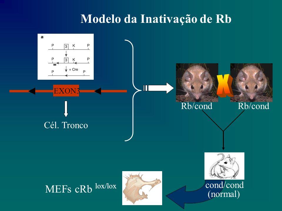 Modelo da Inativação de Rb EXON3 Cél. Tronco MEFs cRb lox/lox Rb/cond cond/cond (normal)
