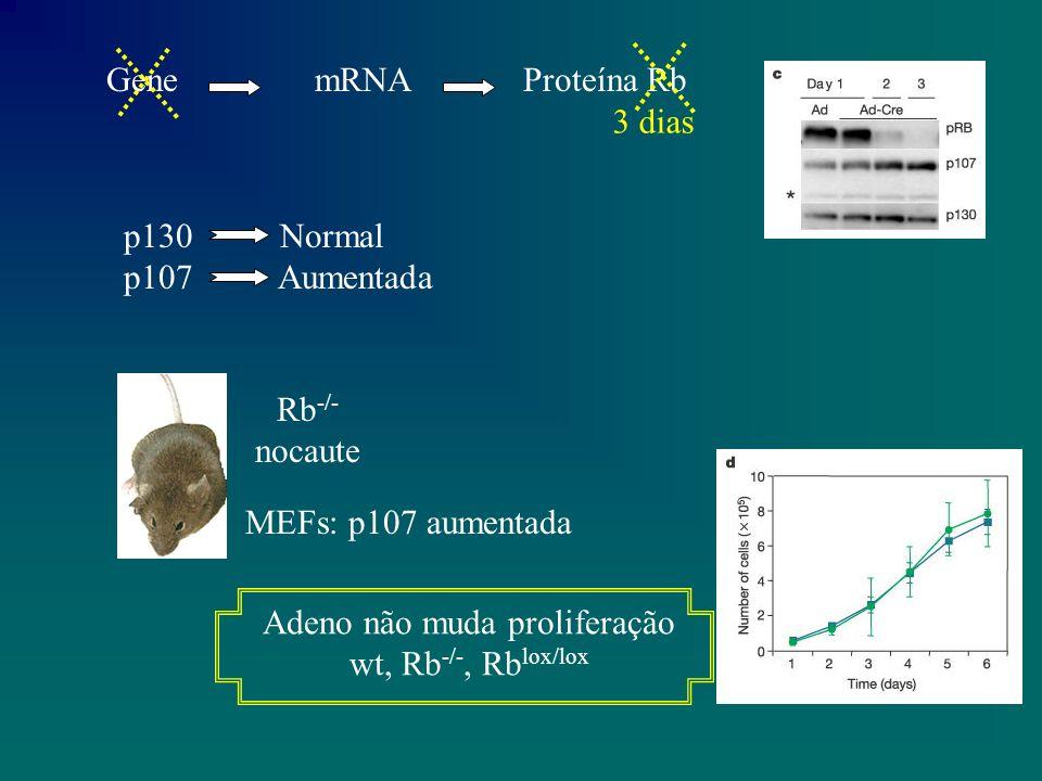 GenemRNAProteína Rb 3 dias p130 Normal p107 Aumentada Rb -/- nocaute MEFs: p107 aumentada Adeno não muda proliferação wt, Rb -/-, Rb lox/lox