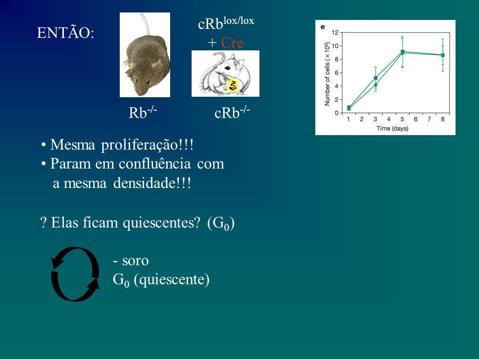 ENTÃO: Rb -/- cRb lox/lox + Cre cRb -/- Mesma proliferação!!.