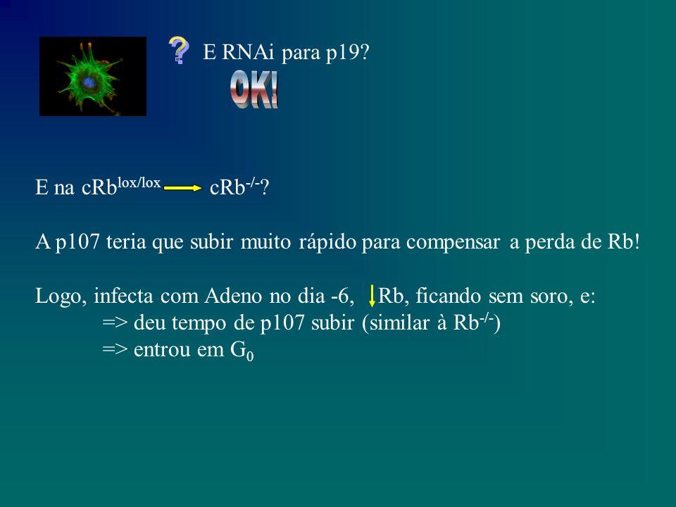 E RNAi para p19. E na cRb lox/lox cRb -/- .