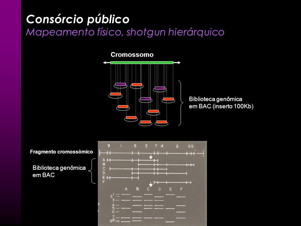 Consórcio público Mapeamento físico, shotgun hierárquico Cromossomo Biblioteca genômica em BAC (inserto 100Kb) Fragmento cromossômico Biblioteca genôm