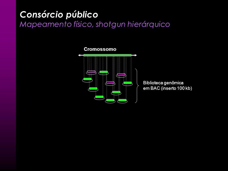 Consórcio público Mapeamento físico, shotgun hierárquico Cromossomo Biblioteca genômica em BAC (inserto 100 kb)