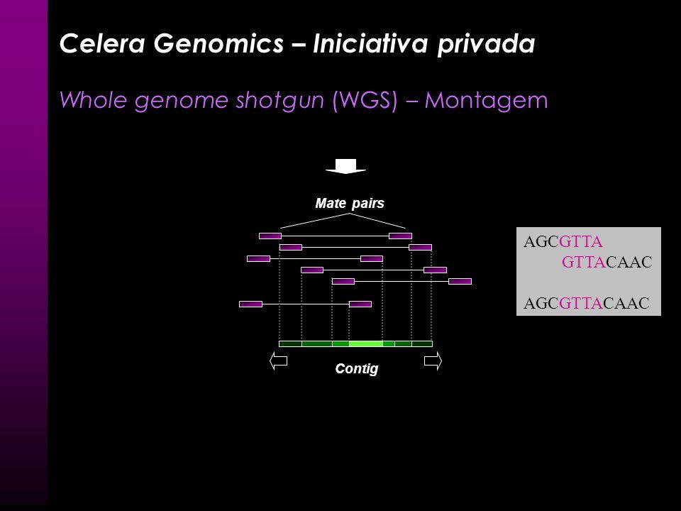 Celera Genomics – Iniciativa privada Whole genome shotgun (WGS) Genoma Biblioteca genômica Plasmídeo (inserto 10 kb) BAC (inserto 100 kb) Seqüenciamen