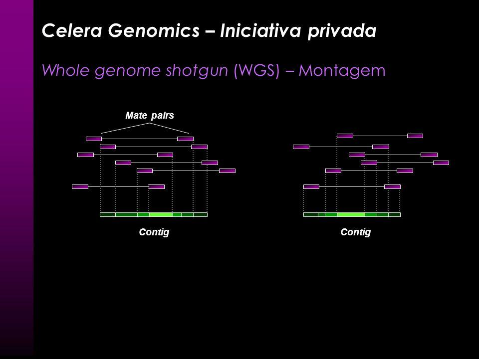 Contig Mate pairs Celera Genomics – Iniciativa privada Whole genome shotgun (WGS) – Montagem AGCGTTA GTTACAAC AGCGTTACAAC