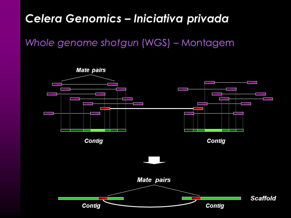 Contig Mate pairs BAC contendo inserto de maior comprimento Celera Genomics – Iniciativa privada Whole genome shotgun (WGS) – Montagem