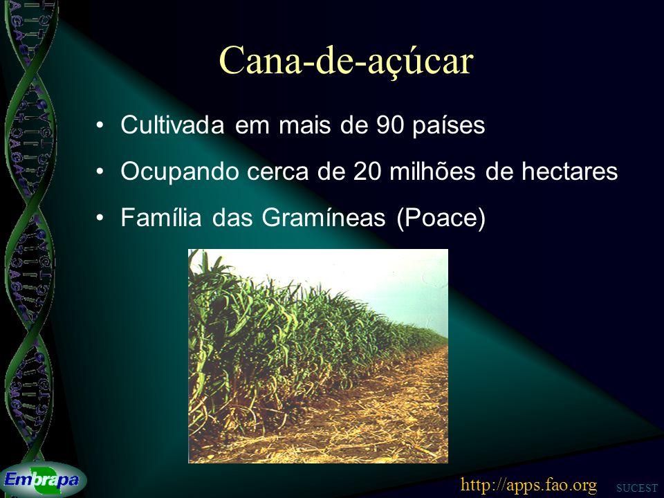 SUCEST Cana-de-açúcar Cultivada em mais de 90 países Ocupando cerca de 20 milhões de hectares Família das Gramíneas (Poace) http://apps.fao.org